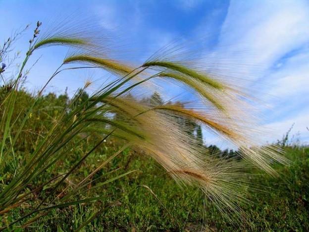 Ковыль - лечебная ведовская трава